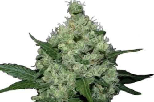 Super Skunk Strain Autoflowering Seeds