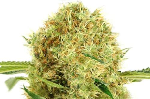 Auto White Widow Seeds Marijuana Strain
