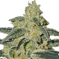 Afghan Hash Plant regular cannabis seeds