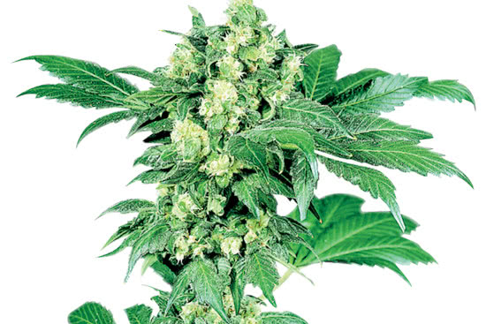 Afghani the #1 best indica strain of all time