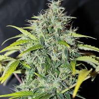 Amnesia regular cannabis seeds