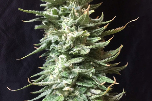 Amnesia Fast Fem Seeds Cannabis Strain