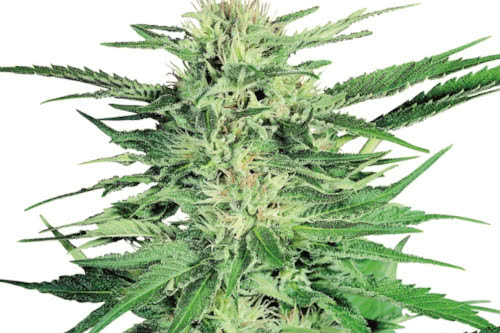Big Bud highest yielding strain to grow from seed