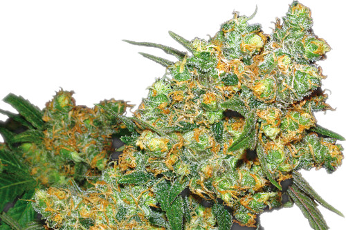 Big Bud Strain Regular Marijuana Seeds