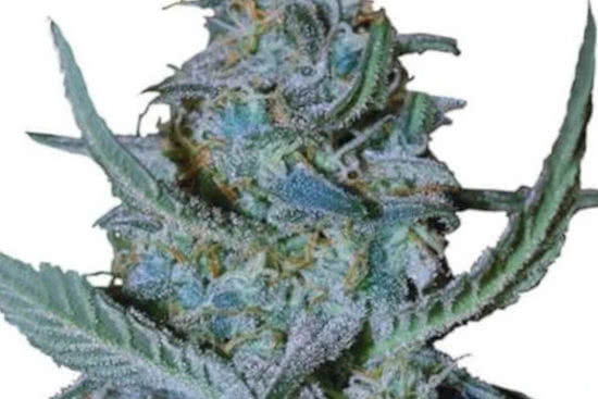 Blue Cheese: best indica strain grow 2021