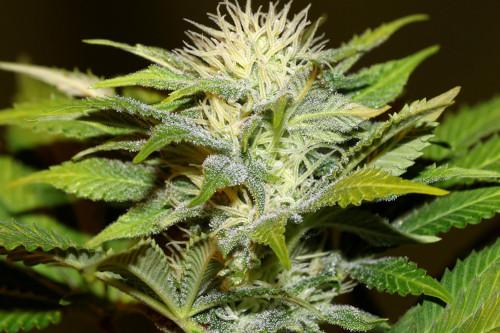Bruce Banger Weed Strain Reg Seeds