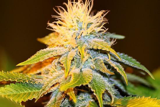 Bubba Kush, a good indica strain to grow weed indoors