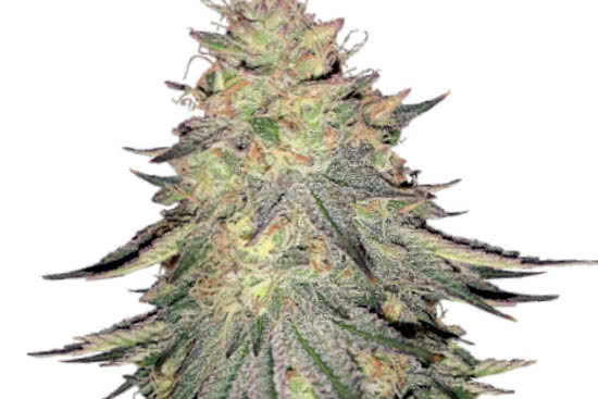 Do-Si-Dos: best most potent indica strain