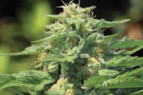 Dream Queen outdoor strain high yield seeds
