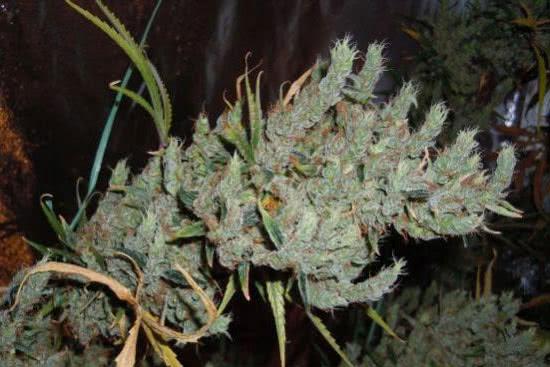 G13 haze cannabis sativa-strain