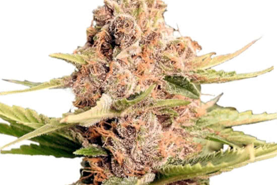 girl scout cookies extreme ilgm indoor grow indica strain