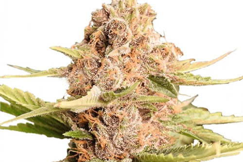 Girl Scout Cookies Weed Strain GSC Fem Seeds