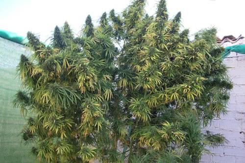 Golden Tiger high yield cannabis strain