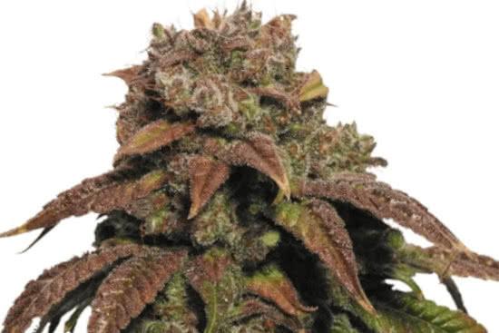 Green Crack: best sativa strain for energy