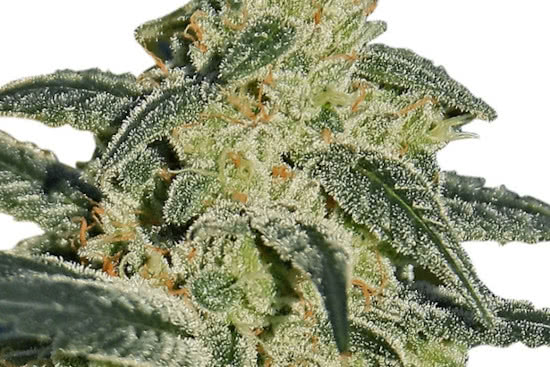 Afghan Hash Plant: a sweet indica-strain plant seeds grow well