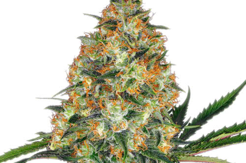 Hindu Kush Marijuana Strain Regular Seeds