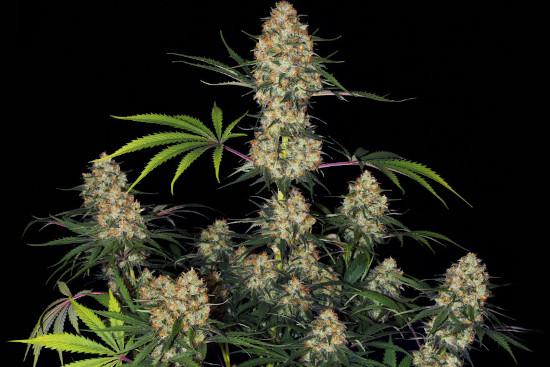 Hindu Kush Sensi best indica weed strain