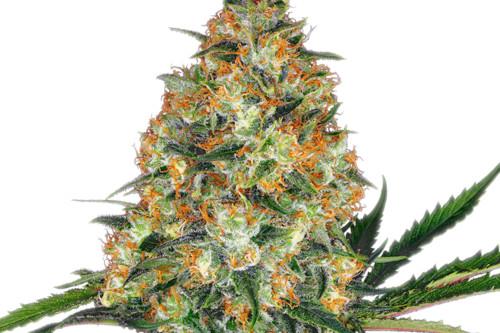 Hindu Kush Marijuana Strain Regular Seeds