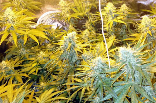 Industrial Plant indoor high yield strain marijuana seeds