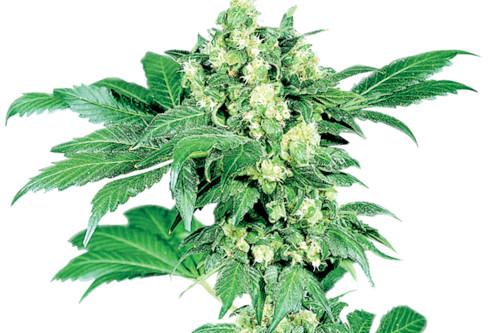 Maple Leaf Indica Strain Reg Weed Seeds