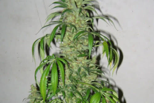 Master Kush x Skunk indoor high yield strain cannabis seeds