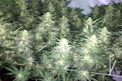 Northern Lights x Big Bud high yielding indoor strain
