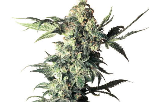 Northern Lights Strain Reg Seeds Weed