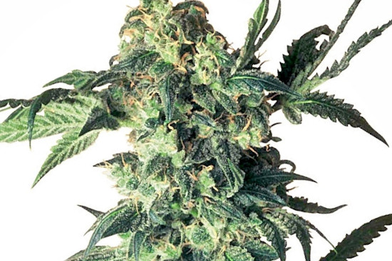Northern Lights top breed best indica strain
