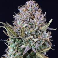 OG Kush auto fem weed seeds