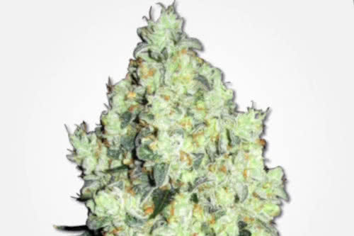 OG Kush Strain Weed Regular Seeds