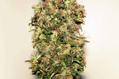 Original Afghani #1 Strain Cannabis Seeds Regular