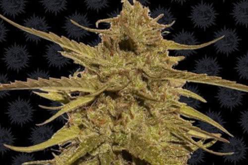 Semillas de cannabis de alto rendimiento Pineapple Haze