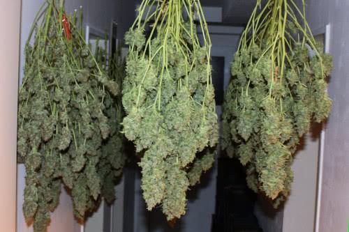 Power Plant indoor high yield strain seeds