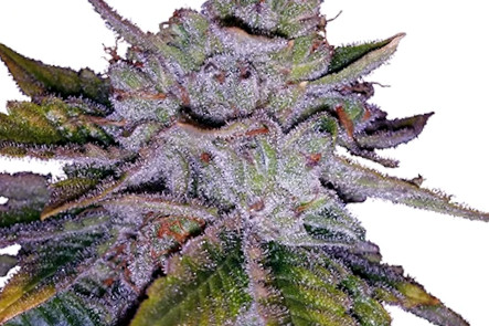 Purple Kush Marijuana Strain Seeds