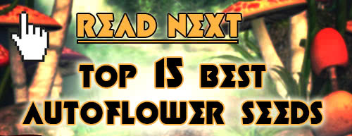 Read next: Top 15 Best Autoflowering Seeds