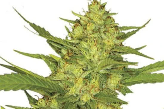 Sour Diesel sativa strain strong and energetic