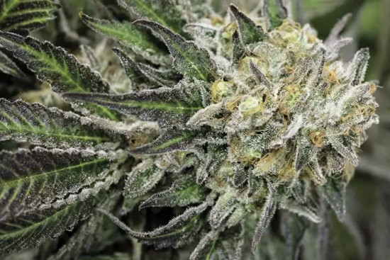 Amherst Sour Diesel sativa strain strong and energetic
