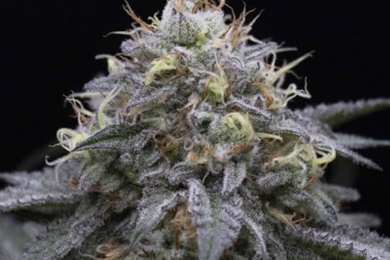 Sugar Breath HSO high THC strong indica strain
