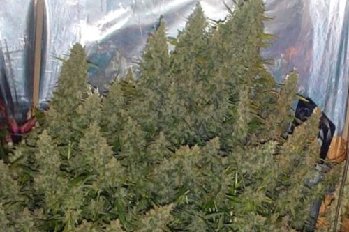 Super Silver Haze high yield marijuana seeds