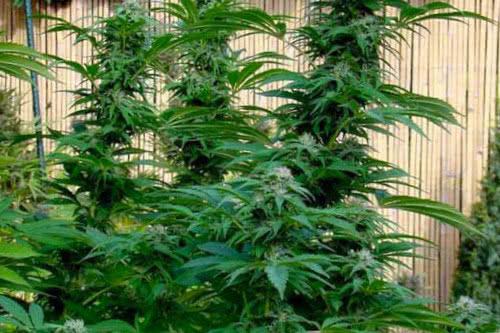 Super Skunk outdoor high yield weed seeds