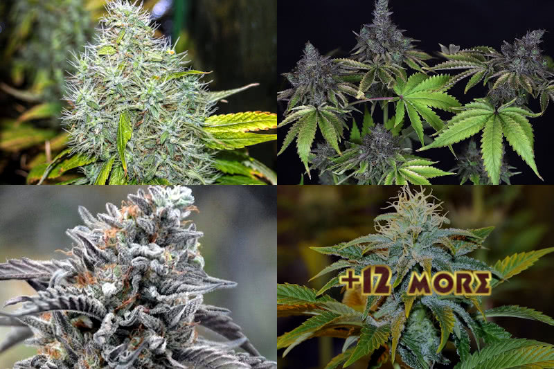 Top 15 Best Feminized Seeds