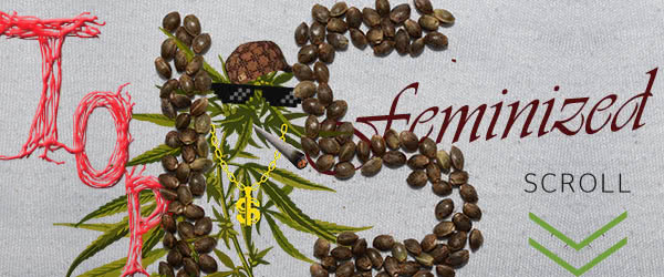 The Best Feminized Seed Strains