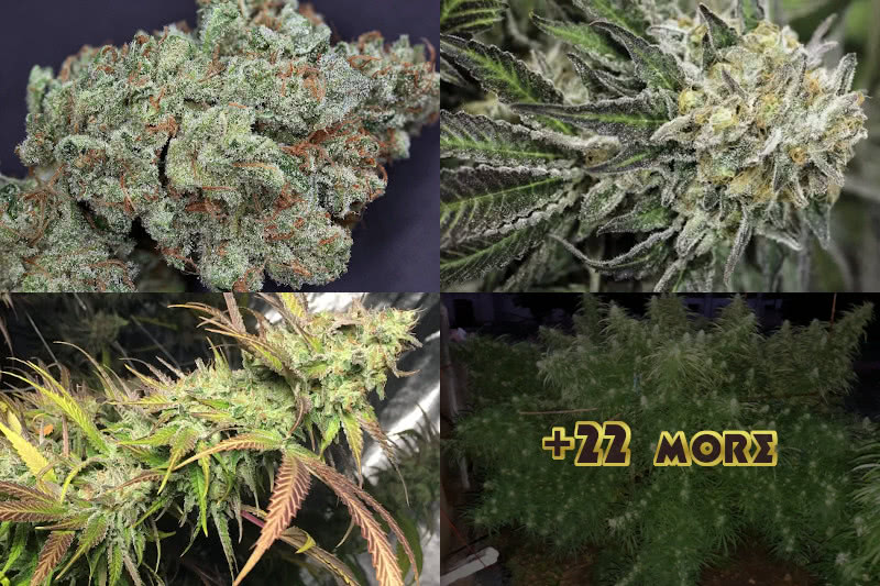 Top 25 Best Sativa Strains 2020