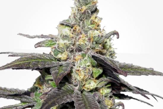 Wedding Cake indica strain cannabis outdoor grow