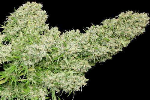 White Russian Strain Marijuana Regular Seeds