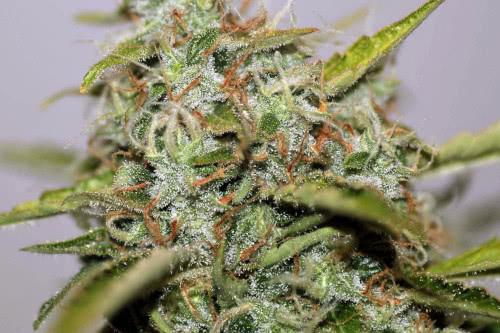 White Widow Regular Seeds Marijuana Strain