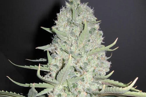 White widow x Big Bud strain yield indoor grow