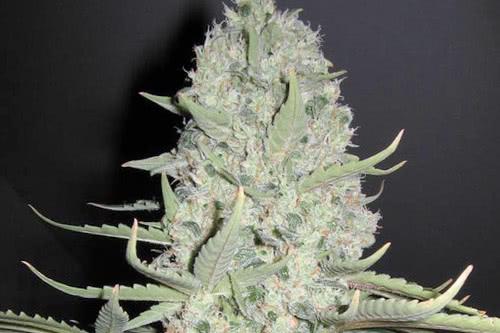 White widow x Big Bud strain yield indoor grow