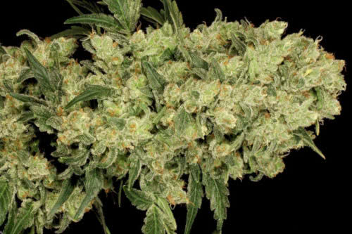ak47 by serious seeds, one of the easiest indoor strains