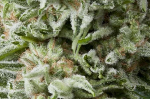 Amnesia Gold auto fem weed seeds, a Pyramid Seeds premium strain for cheap